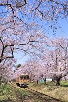 青森県 津軽鉄道と芦野公園の桜