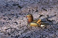 青森県 弘前城 散り桜の西堀を泳ぐオシドリ