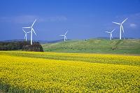 青森県 菜の花畑と風車