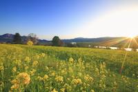 長野県 飯山市 菜の花畑と斑尾山と高社山と千曲川と夕日