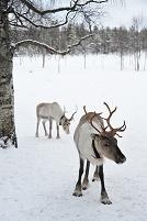 トナカイ 冬のフィンランド