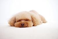 爆睡するトイプードル 犬