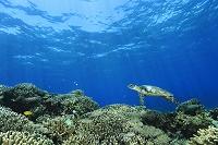 海中 ウミガメ