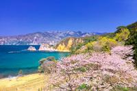 静岡県 黄金崎コレクションガーデンに咲く桜