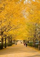 東京都 国営昭和記念公園のイチョウ並木