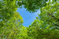 春のブナ林に現れたハート形の青空