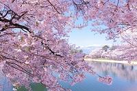 長野県 伊那市 六道堤の桜