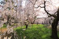 京都府 京都御苑 旧近衛邸跡に咲く糸桜と朝日
