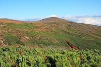 北海道 大雪山緑岳とハイマツ