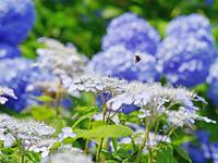 紫陽花の花で華麗に飛ぶ蜂