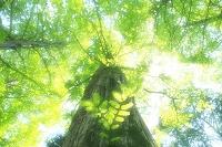 セコイヤの若葉と新緑