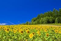 北海道 彩香の里 ヒマワリ畑