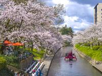 富山県 松川公園の桜と遊覧船