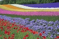 北海道 ファーム富田の彩の畑