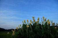 千葉県 青空とカンナの花