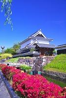 京都府 キリシマツツジの咲く勝竜寺公園