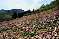 長野県 五竜かたくり苑のカタクリ群生