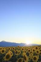 山梨県 北杜市 ひまわり畑と夕日