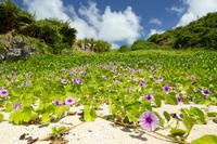 鹿児島県 前浜海岸の砂浜に生えるグンバイヒルガオ