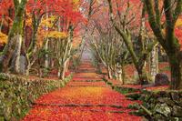 滋賀県 鶏足寺 参道の敷き紅葉