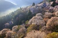 奈良県 ヤマザクラ咲く朝霧漂う七曲り坂