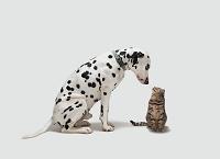 猫を見下ろすダルメシアン犬
