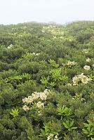 山梨県 北岳 ハクサンシャクナゲの花