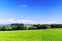北海道 豆畑の丘