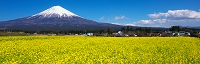 静岡県 菜の花と富士山
