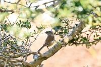 野鳥 ウグイス