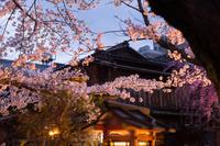 京都府 祇園桜