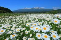 山形県 マーガレットと初夏の鳥海山