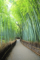京都府 朝の竹林の小径