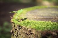 神奈川県 切り株の苔とケヤキの新芽