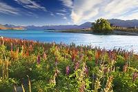 ニュージーランド カンタベリー テカポ湖