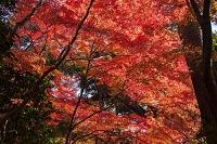 小石川後楽園 モミジ紅葉