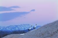 北海道 タンチョウの番夜明けの行動