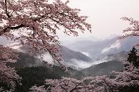 群馬県 山霧と妙義山の桜