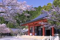 京都府 桜の咲く鞍馬寺