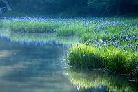 滋賀県 平池のカキツバタ