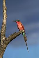 ジンバブエ ワンゲ国立公園 ミナミベニハチクイ
