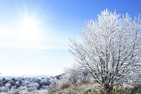 長野県 高ボッチ高原 霧氷の木