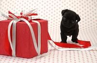 パグ プレゼントとパグ