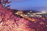 神奈川県 まつだ桜まつり