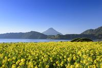 菜の花の池田湖畔と開聞岳