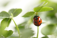 てんとう虫と五つ葉のクローバー