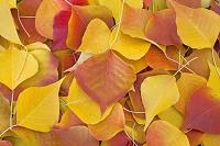 紅葉した落ち葉のアップ