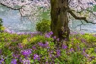 東京都 千鳥ヶ淵の桜