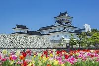 富山県 富山城とチューリップ