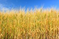 北海道 大麦の麦穂